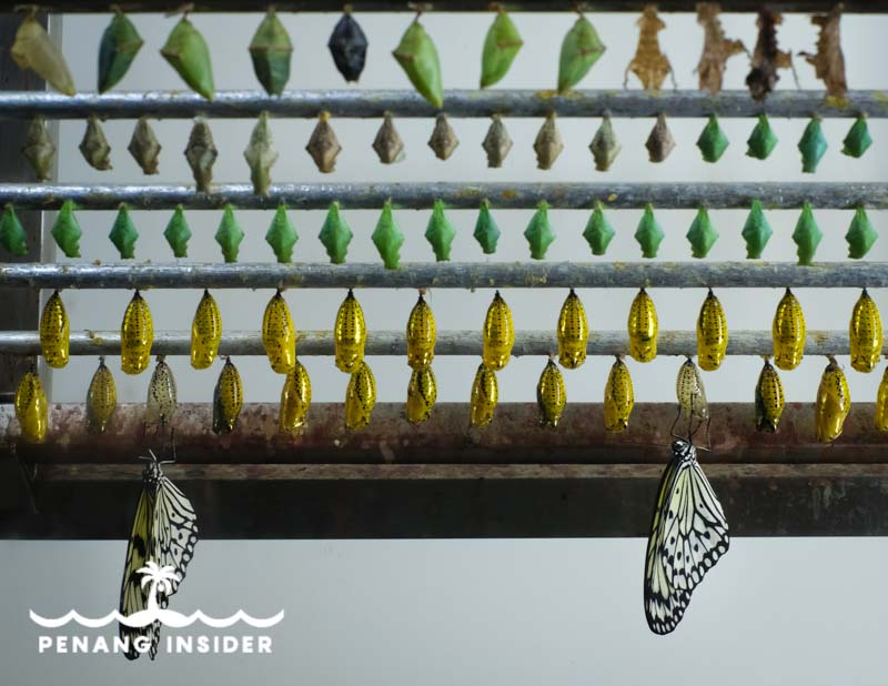 Hanging pupae and newborn butterflies at Entopia's Breeding Ground