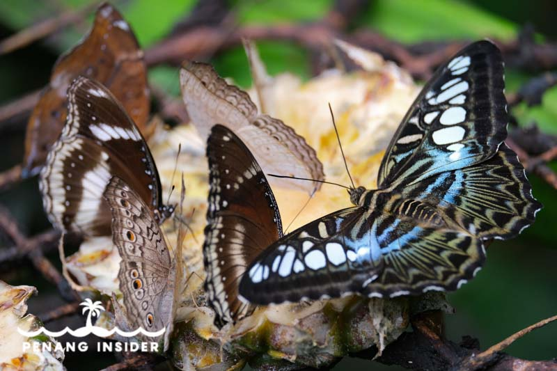 Beautiful Entopia butterflies feed on pineapple slices