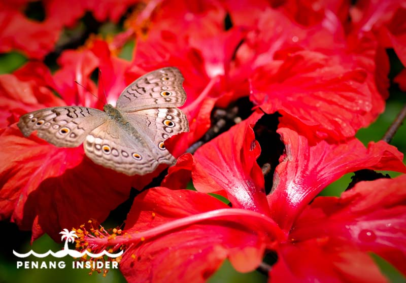 Butterfly and hibiscus flowers on the Aroma Trail