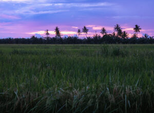 Sunset over the quiet paddies surrounding Kurau Inn Farmstay