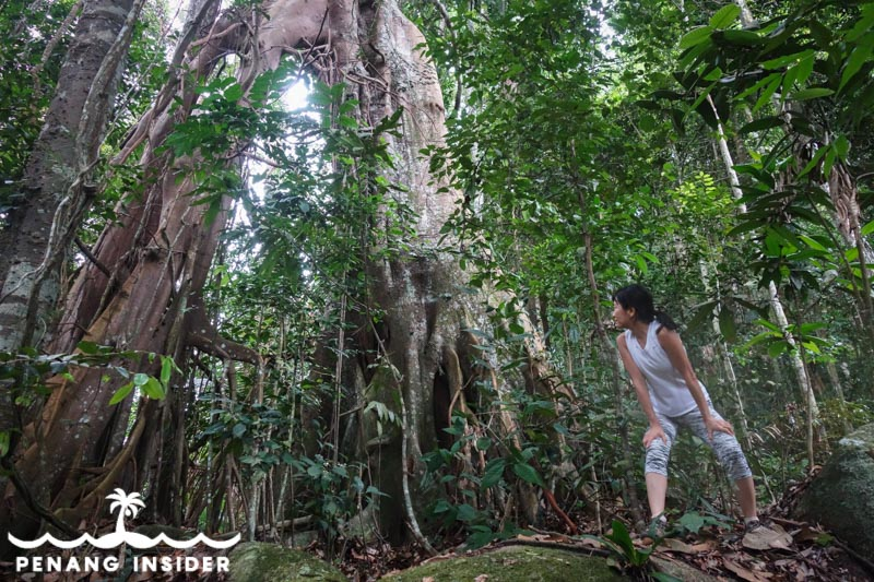 The giant split-root tree you'll find if you decide to tackle the Cherok Tok Kun summit using the jungle path from Station 2